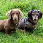 dachshund-lola
