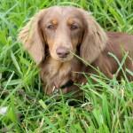dachshund-sweet-puppy-love