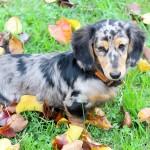 dachshund-with-pattern