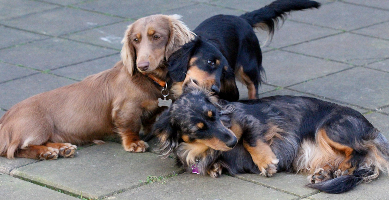 Dachshunds playing