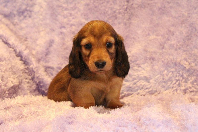 DACHSHUND PUPPY red long coat male