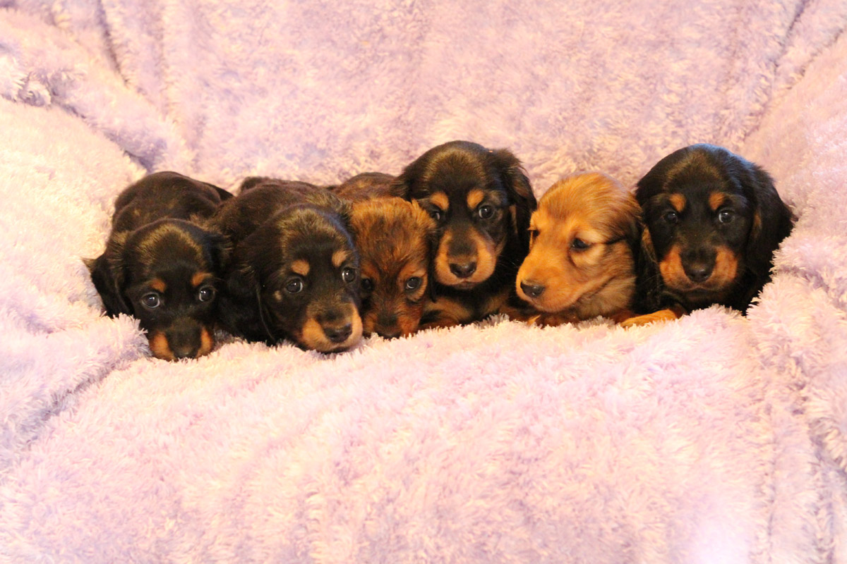 DACHSHUND PUPPY, long haired, the-whole-litter