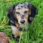 dachshund-puppy-cute-look