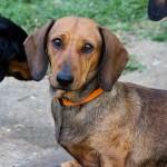 dachshund-registered-breeder-sydney