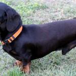 breeding-male-dachshund