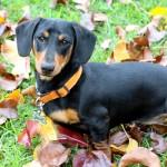short-haired-dachshund